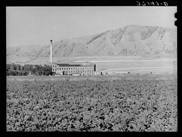 Field of sugar beets and sugar beet processing plant. Garland, Utah