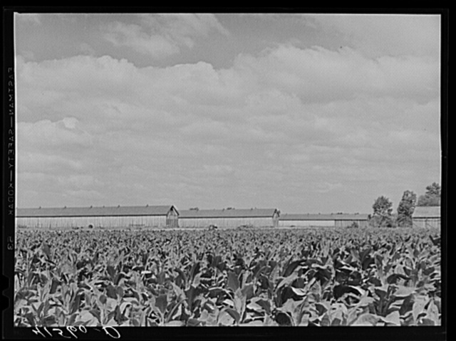 Field of tobacco and tobacco barn near Warehouse Point, Connecticut
