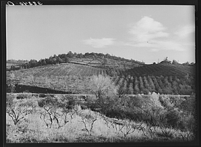 Fruit orchards in the low hills near Auburn, California. Placer County