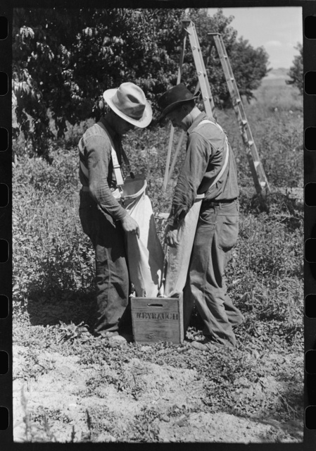 Fruit pickers emptying sacks of peaches into a crate, Delta County, Colorado