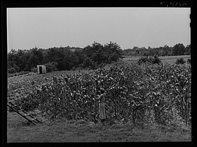 FSA (Farm Security Administration) client John Barnes, standing in his cornfield which is part of his home garden. Ridge, Maryland