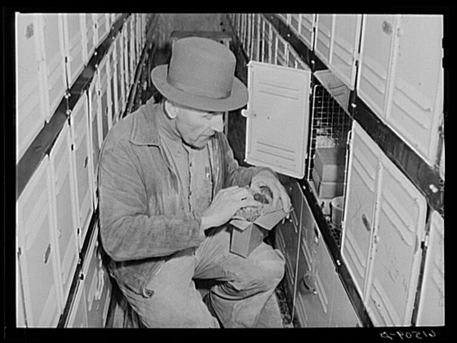 Getting frozen raspberries out of cold storage locker. This coop received a forty-five hundred dollar loan from FSA (Farm Security Administration). Casselton, North Dakota