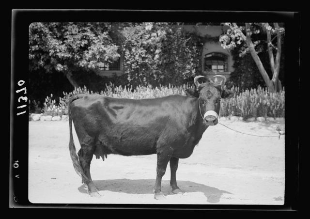 "Government Stud Farm, Acre. A ""Kerry"" cow"