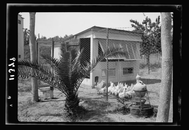 Government Stud Farm, Acre. Individual chicken house showing water contrivance (porus jar)