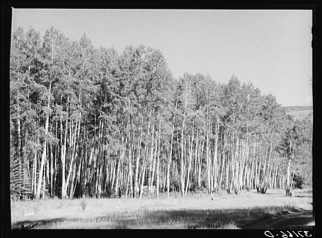 Grove of aspens in Santa Barbara Canyon in Carson National Forest, Taos County, New Mexico