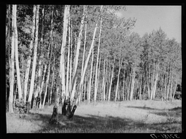 Grove of aspens. Santa Barbara Canyon, Taos County, New Mexico