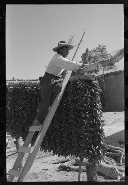 Hanging up chili peppers for drying, Isletta, New Mexico