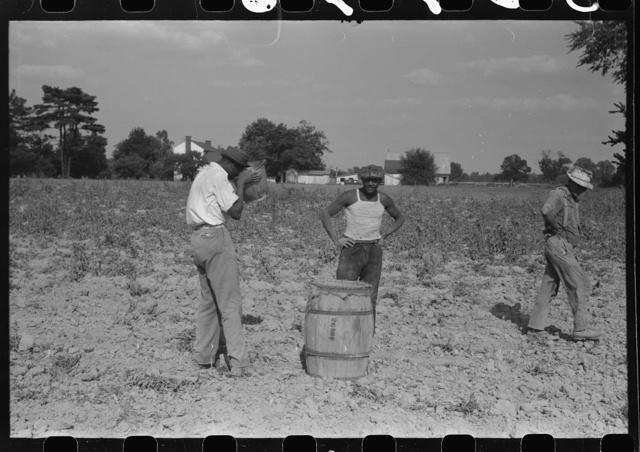 Harvesting potatoes, Jefferson County, Kentucky