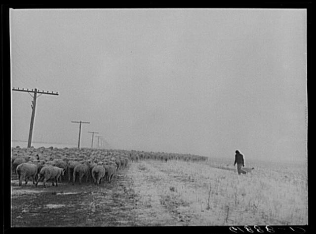 Herding in sheep as blizzard approaches. Hyde County, South Dakota