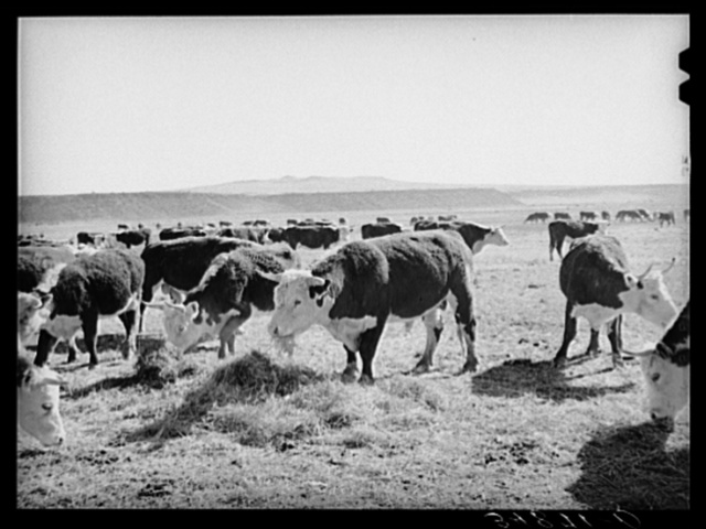 Hereford cattle eating hay grown by flood irrigation methods in the Little Colorado River Valley in Apache County near Springerville, Arizona