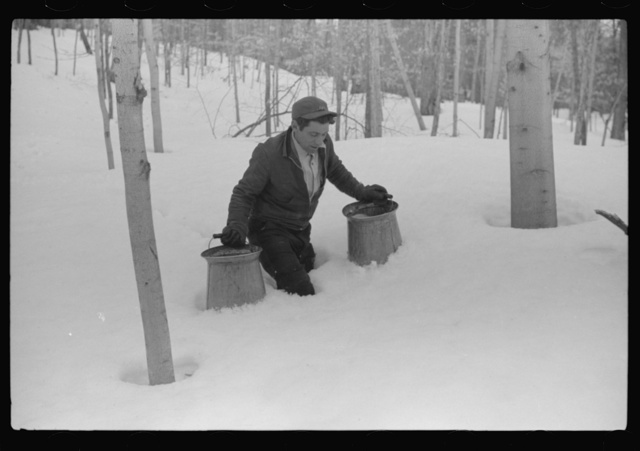 Hired man of Frank H. Shurtleff gathering sap from sugar trees for making maple syrup. Sugaring is a social event and is enjoyed by all the young people and children in the neighborhood. The Shurtleff farm has about 400 acres and was originally purchased by grandfather in 1840. He raises sheep, cows, cuts lumber and has been making maple syrup for about thirty-five years. Sugaring brings in about one thousand dollars annually. Because of the deep snow this year he only tapped 1000 of his 2000 trees. He expects to make about 300 to 500 gallons this year. North Bridgewater, Vermont