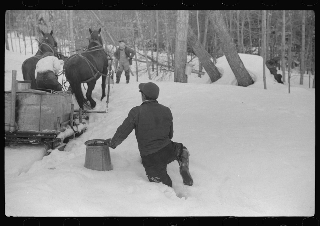Hired man on Frank H. Shurtleff farm gathering sap from sugar trees for making maple syrup. Sugaring is a social event and is enjoyed by all the young people in the neighborhood. The Shurtleff farm has about 400 acres, and was originally purchased by grandfather in 1840. He raises sheep, cuts lumber and has been making maple syrup for about thirty-five years. Sugaring brings in about one thousand dollars annually. Because of the deep snow this year he tapped only 100 of his 2000 trees. He expects to make about 300 to 500 gallons this year. North Bridgewater, Vermont