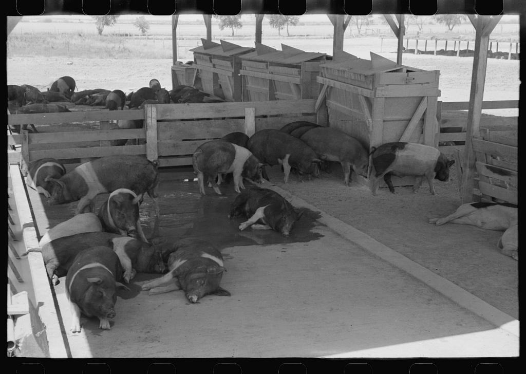 Hogs at the Casa Grande Valley Farms, Pinal County, Arizona
