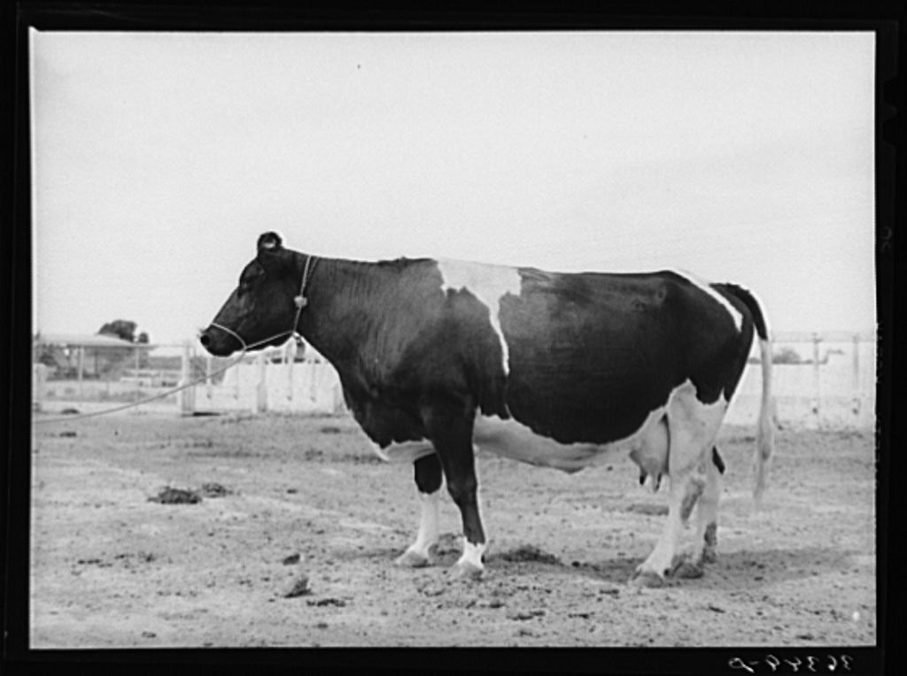 Holstein cow at Casa Grande Valley Farms. Pinal County, Arizona. She yielded 497 pounds of butterfat in 370 days. On test 77 cows of the Casa Grande Farm yielded an average of 386 pounds of butter fat in 365 days. This was the highest in the state for that many cows