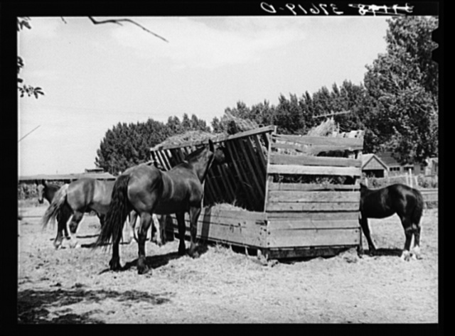 Horses at feeding stall. Cornish, Utah