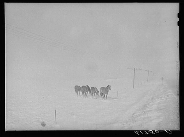 Horses in snowstorm. Lyman County, South Dakota