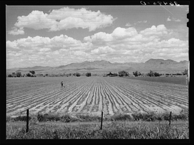 Irrigated field of cotton at Solomonsville. Graham County, Arizona