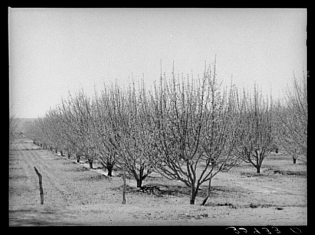 Irrigated orchard. Bernalillo County, New Mexico