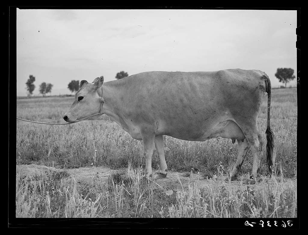 Jersey cow at the Casa Grande Valley Farms. Pinal County, Arizona. Name of the cow: Ronald's Sybil Frosty. Record: for 365 days yielded 14634 lbs. of milk. Test 4.88, butterfat 715.79 pounds
