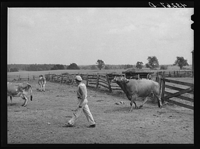 Leading bull into enclosure. Farm near Rockville, Maryland