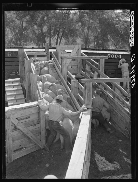 Loading fat lambs on narrow gauge railway cars. Cimarron, Colorado