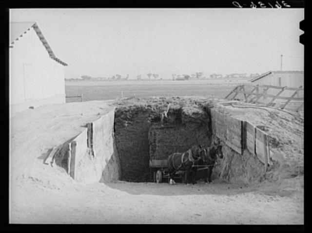 Loading silage into wagon from trench silo. Arizona part-time farms, Chandler Unit, Maricopa County, Arizona