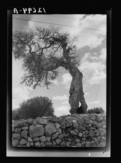 "'Maise' (Arabic) tree, Hackberry tree, ""March of Time on Bethlehem Road"""
