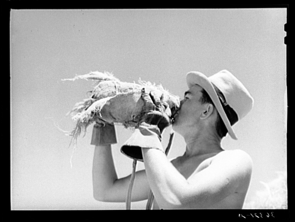 Man who is working in the hay field drinking from burlap-covered water bottle. Casa Grande Valley Farms, Arizona