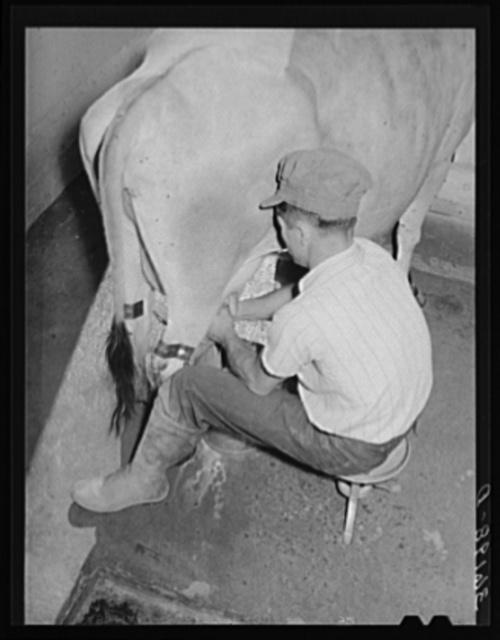 Member of the Arizona part-time farm milking. Maricopa County, Arizona