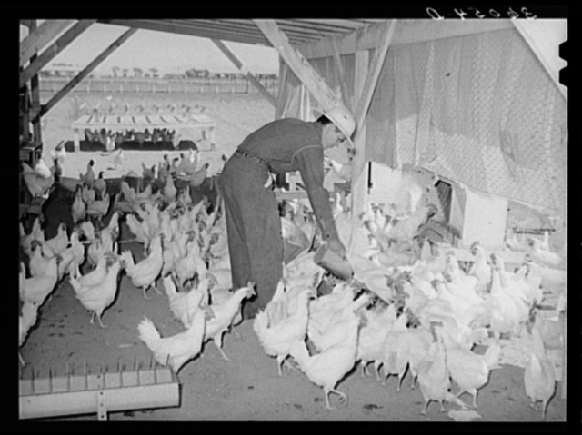 Member of the Arizona part-time farms feeding chickens. Maricopa County, Arizona. Poultry raising is one of the mainstays of this project