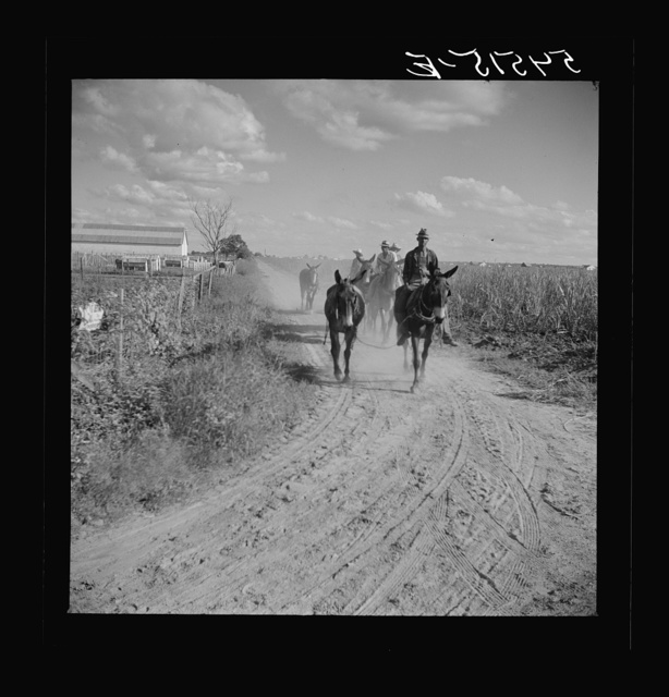 Members of the Terrebonne Project, Schriever, Louisiana, taking the mules back to the barns in the evening after work in the fields