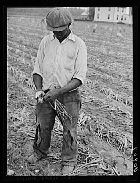 Migratory agricultural worker cutting off top on onions in a field near Cedarville, New Jersey