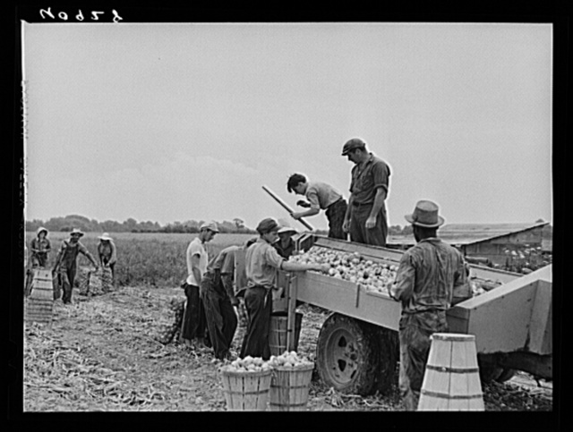 Migratory agricultural workers at an onion grader near Cedarville, New Jersey