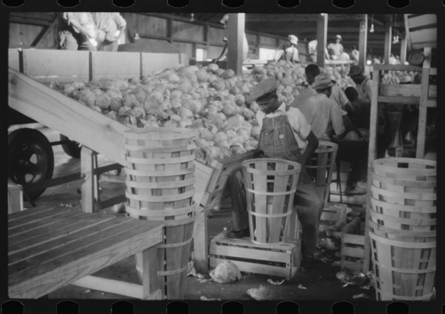 Migratory agricultural workers grading cabbages at the Webster Canning Company, Cheriton, Virgina