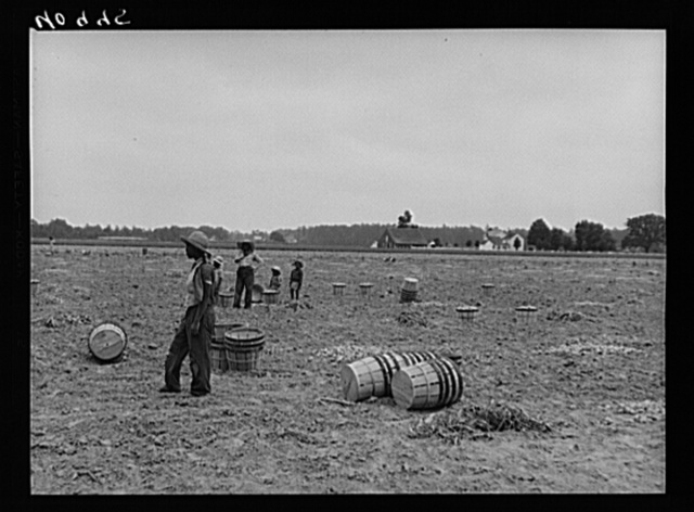 Migratory workers in an onion field near Accomac, Virginia