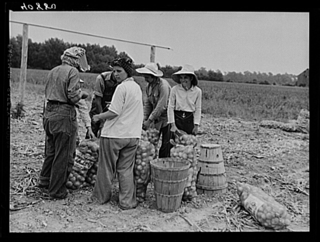 Migratory workers sewing bags of onions in a field near Cedarville, New Jersey. Girls like these come from big cities nearby--Philadelphia, Baltimore, etc.
