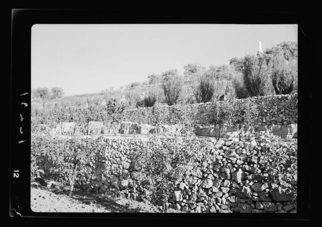 Mr. Abcarius' terraced orchard at Abu Gosh. Distant view of well terraced orchard, close up