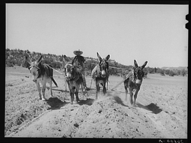 Mr. Leatherman, homesteader from Texas, building terraces with his burro. Pie Town, New Mexico