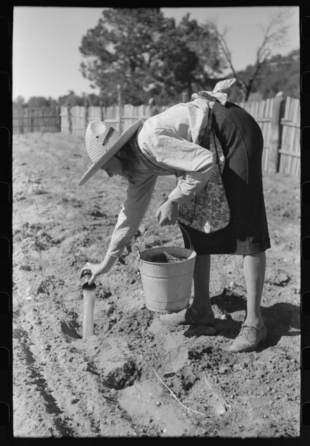 Mrs. Caudill pouring water into holes before setting out cabbage plants, Pie Town, New Mexico