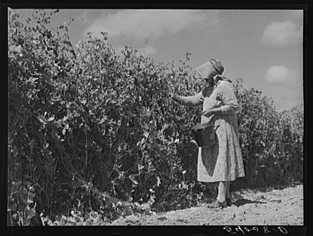 Mrs. Mattie Hart, mother-in-law of John M. Washam, picking English peas out of their home garden. Transylvania Project, Louisiana