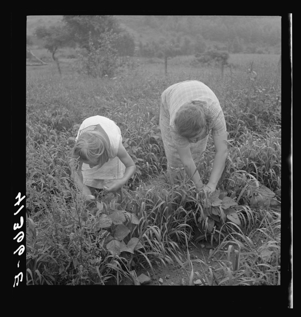 Mrs. Merritt Bundy and her daughter picking beans for sale at the Tri-County Farmers Co-op Market in Du Bois, Pennsylvania on their farm near Penfield, Pennsylvania