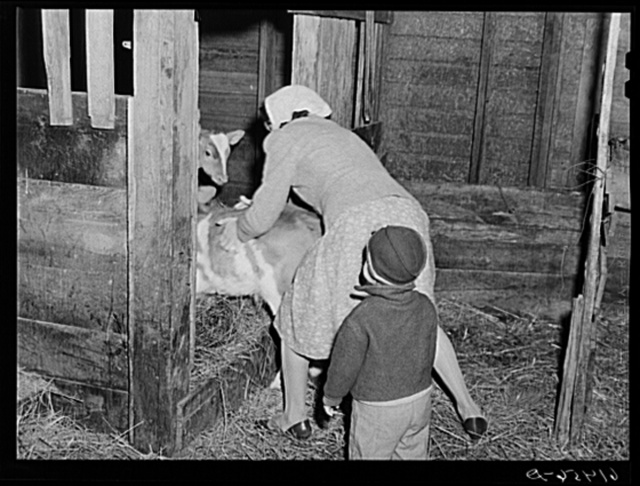 Mrs. Schroeder, wife of FSA (Farm Security Administration) borrower, pushing calf into stall. Cavalier County, North Dakota