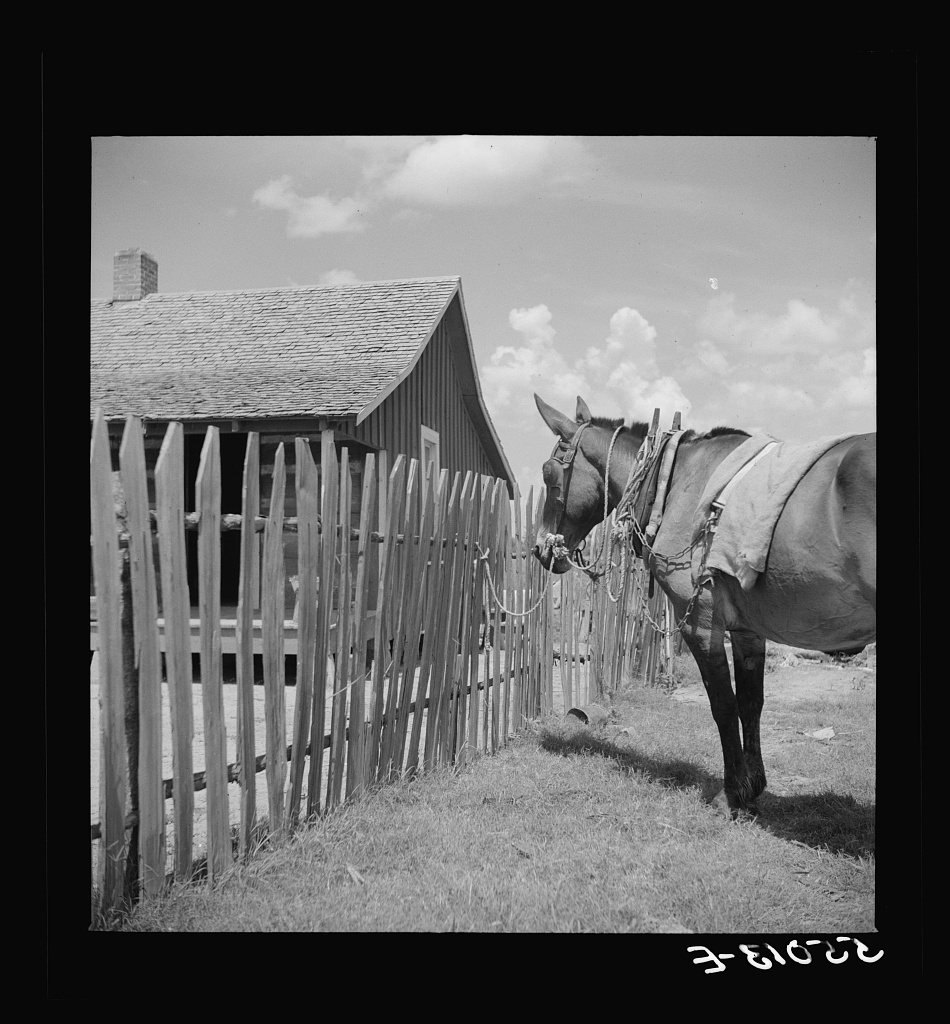 Mule tied to fence of tenant's home on King and Anderson plantation. Clarksdale, Louisiana