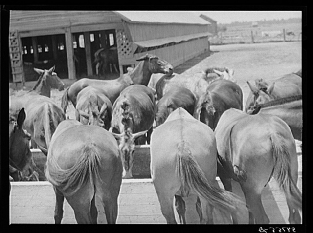 Mules are taken into the yard for a couple of hours at noon during mid-summer to cool and water them. King and Anderson Plantation, near Clarksdale, Mississippi Delta, Mississippi