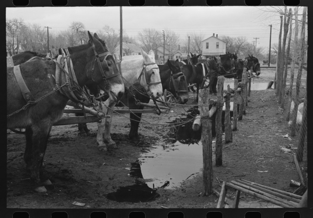 Mules at hitching posts, Eufaula, Oklahoma