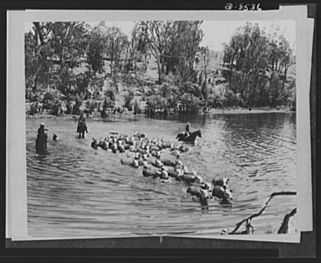 One year of reciprocal aid. Australian beef cattle on the long trek that leads to an American Army mess. Under reciprocal lend-lease, our armed forces have received from Australia 26,900,000 pounds of beaf and veal, lamb, mutton and pork, 20,000,000 pounds of potatoes, 1,800,000 dozens of eggs and 5,464,000 quarts of milk, and many other foodstuffs