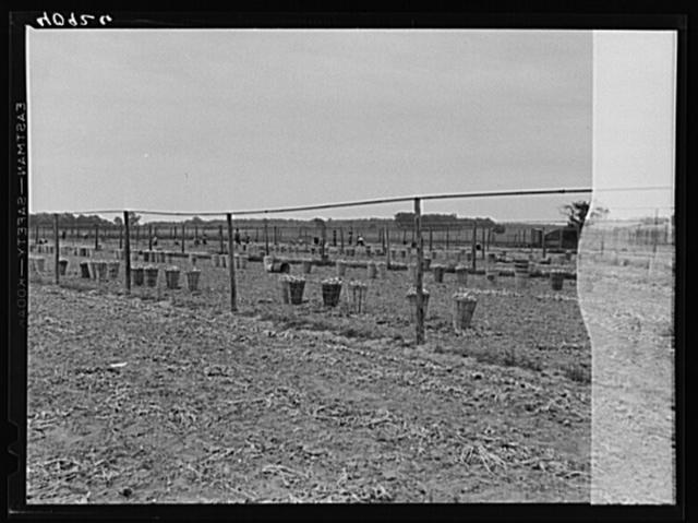 Onion field employing migratory labor near Cedarville, New Jersey