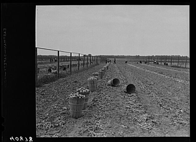 Onion field in New Jersey near Cedarville