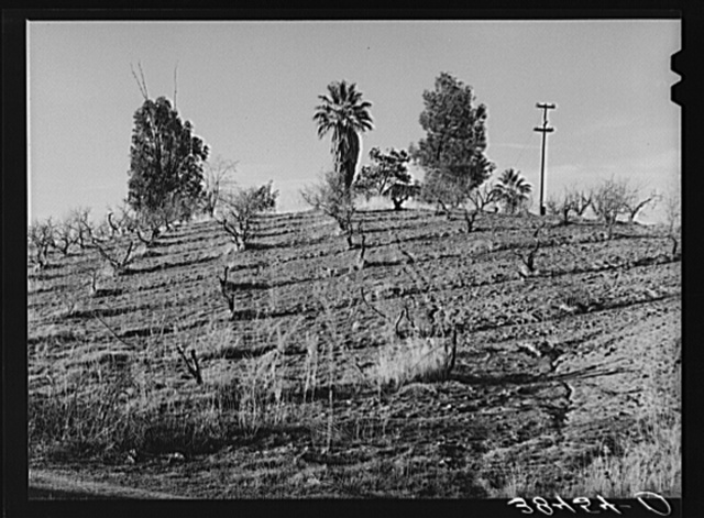 Orchard in hillside showing irrigation ditches and erosion in the foreground. Placer County, California