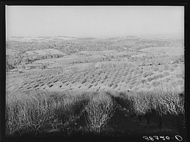 Orchards near Auburn, California
